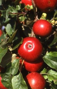 Ausgabe von Obsthochstämmen