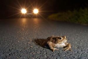 Amphibien wandern wieder